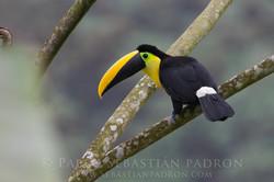 Ramphastos brevis - Ecuador