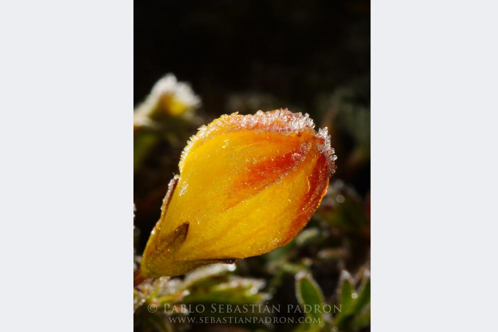 Gentianella hirculus - Ecuador