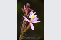 Orchidaceae 7 -  Ecuador