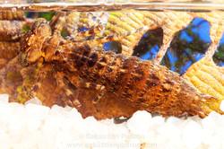 Dragonfly larvae Odonata