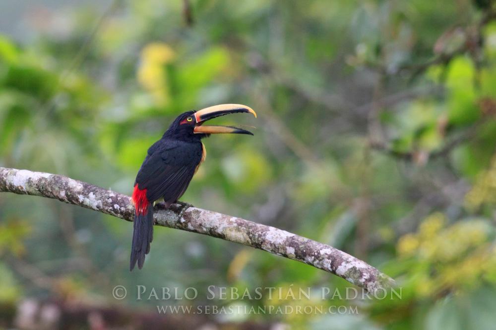 Pteroglossus erythropygius - Ecuador