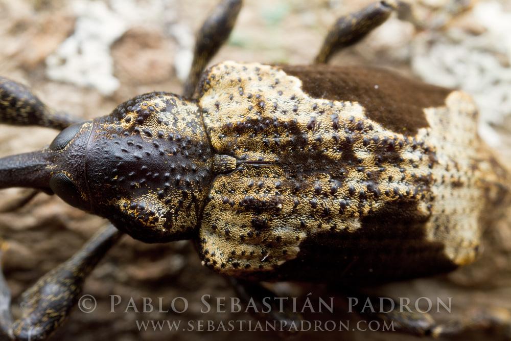 Curculionidae 9 - Ecuador