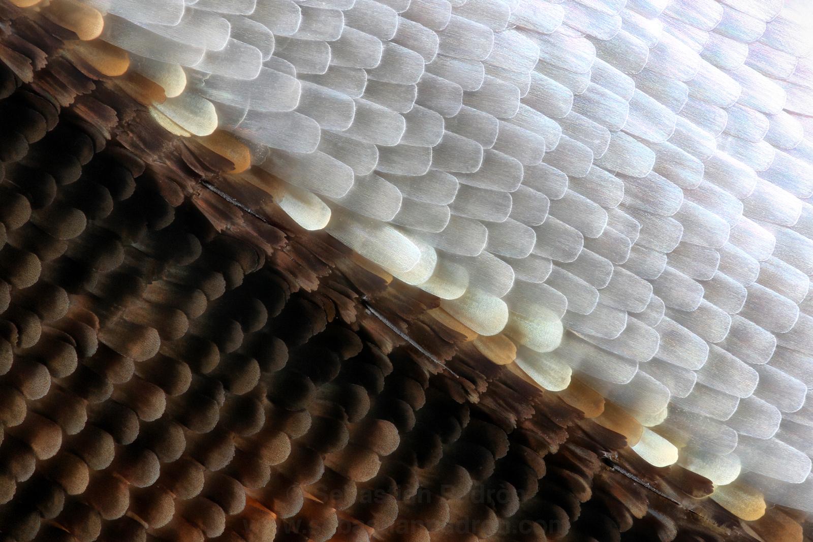 Escamas de una ala de Dione glycera  par