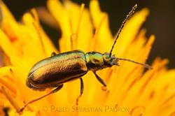 Chrysomelidae 1 - Ecuador