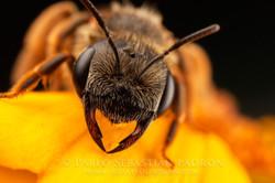 Andrena sp. - USA