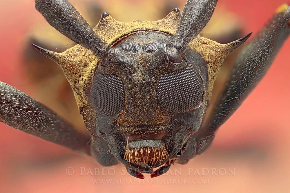Cerambycidae 5 - Ecuador