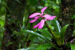 Bromelia - Ecuador 4