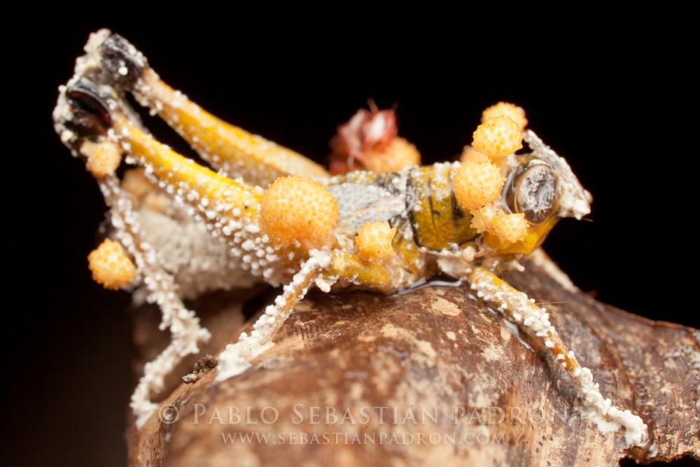 Ophiocordyceps 5- Ecuador