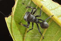 Aphantochilus rogersi 2 - Ecuador