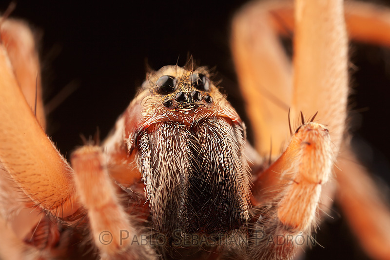 Lycosidae - USA