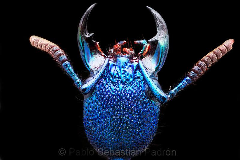 Plochionocerus sp. - Ecuador
