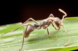 Ophiocordyceps 3- Ecuador