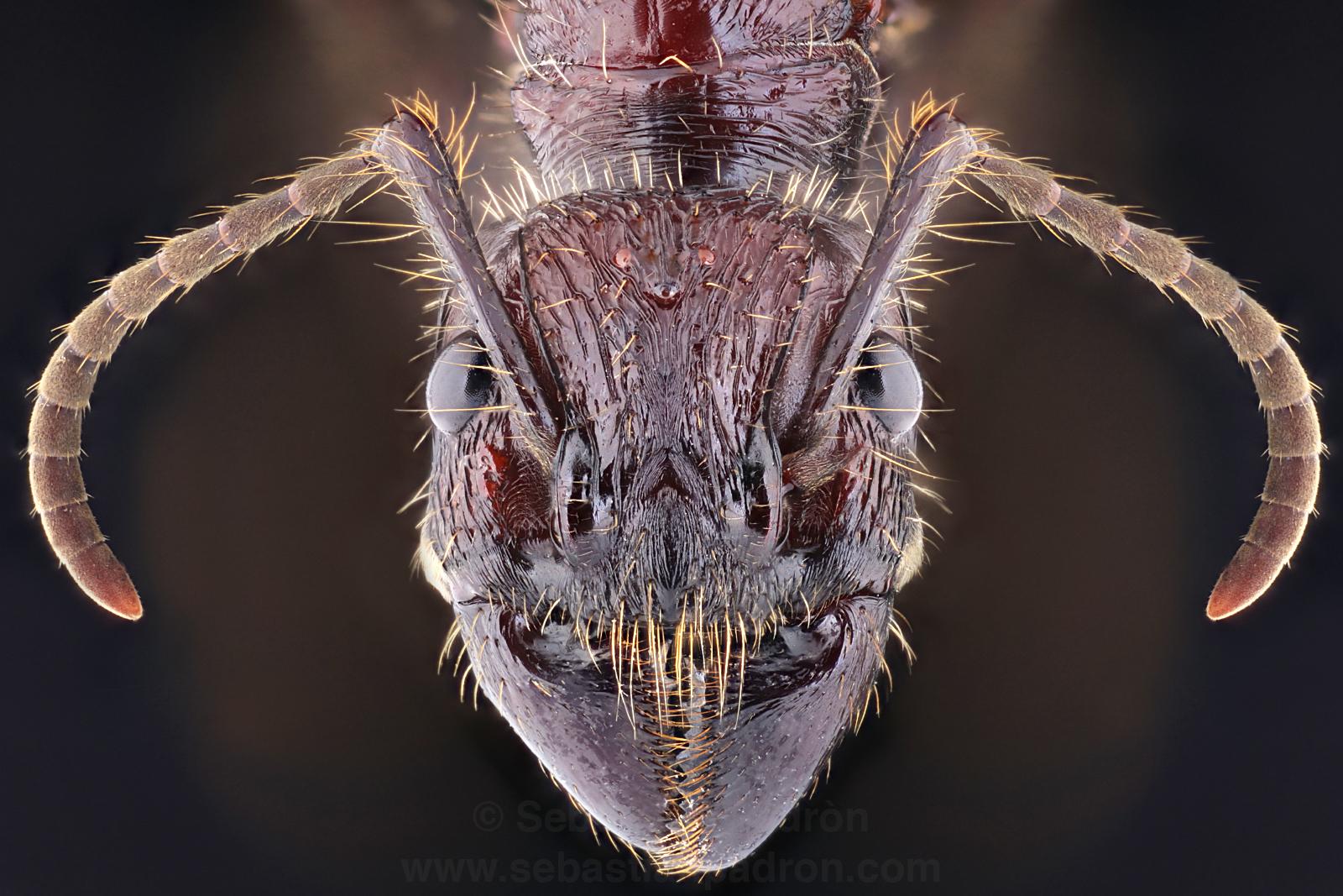 Paraponera clavada