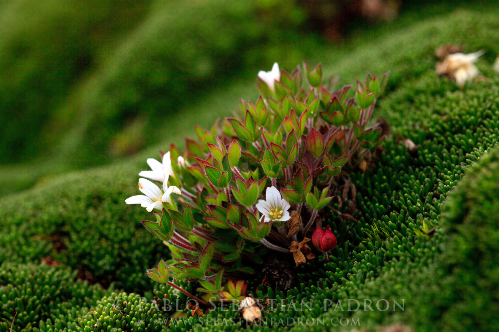 Geranium multipartitum - Ecuador