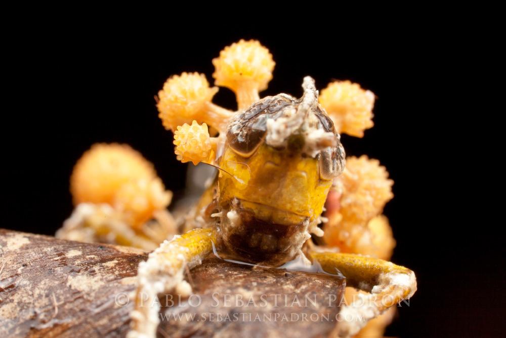 Ophiocordyceps - Ecuador
