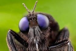 Asilidae - Ecuador