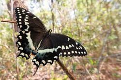Papilionidae 5- USA