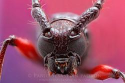 Cerambycidae 3