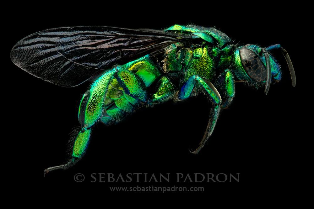 Exaerete smaragdina