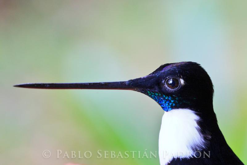 Coeligena torquata - Ecuador