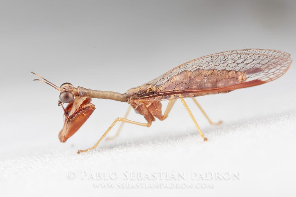 Mantispidae  Gainesville Fl