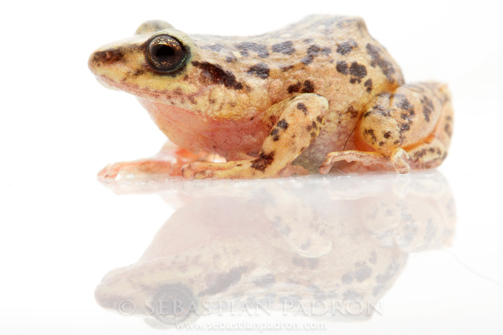 Pristimantis sp.