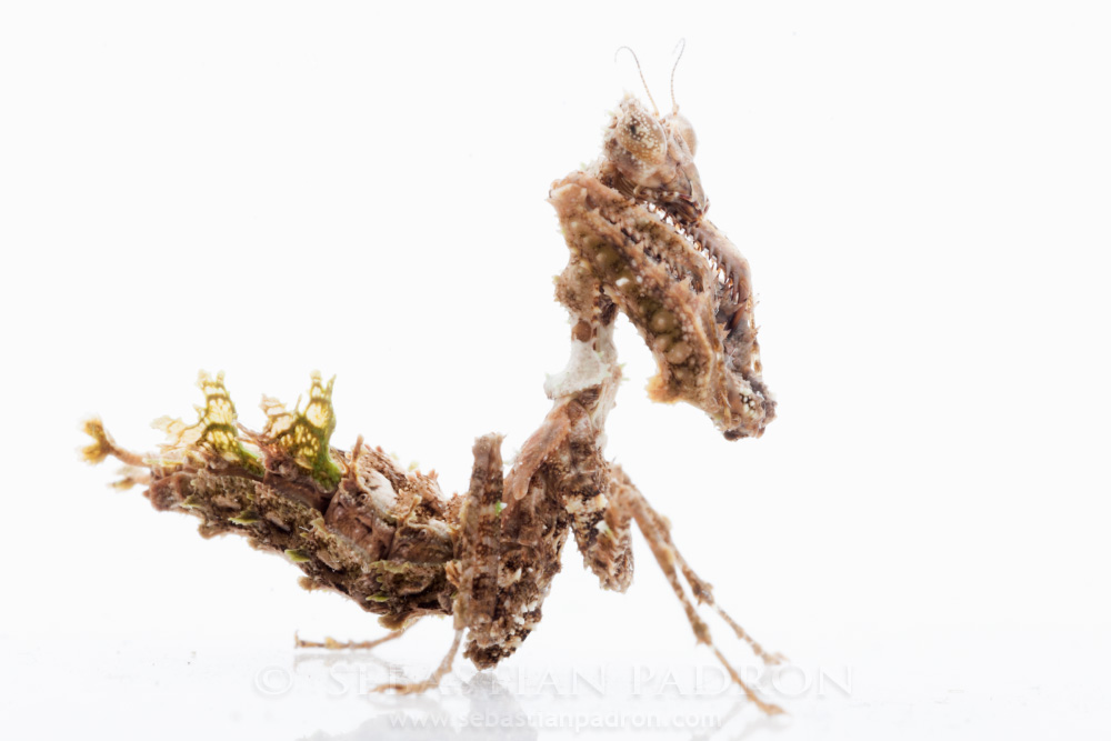 Pseudoacanthops sp.