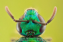 Halictinae