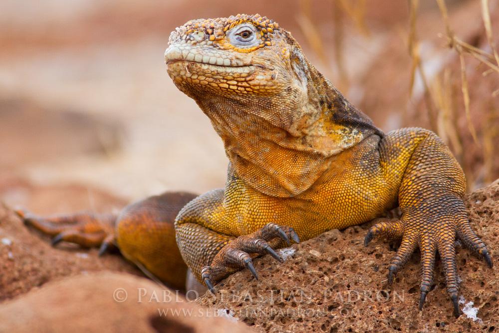 Conolophus subcristatus- Ecuador