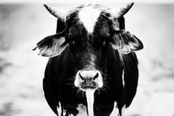 Vaca de desierto