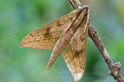 Sphingidae - Ecuador