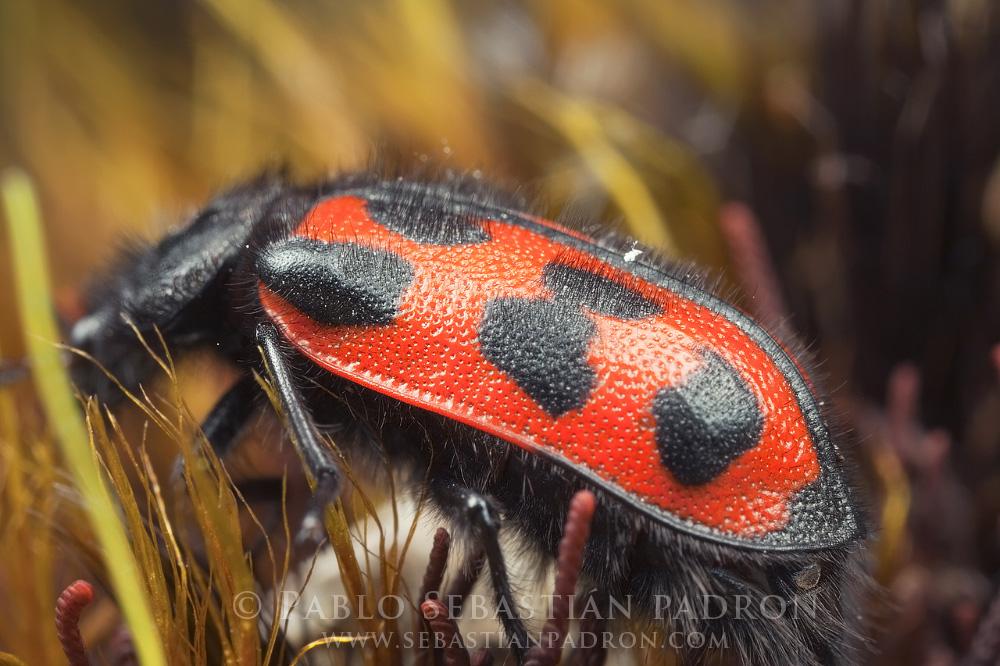 Astylus sp. - Ecuador