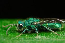 Chrysididae 2 - Ecuador