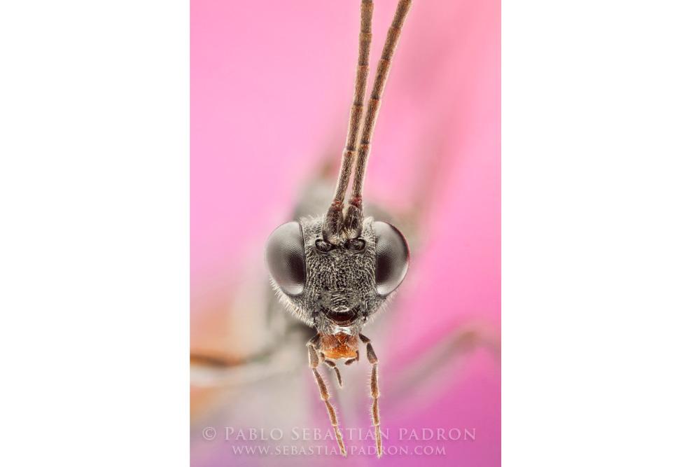 Ichneumonidae USA