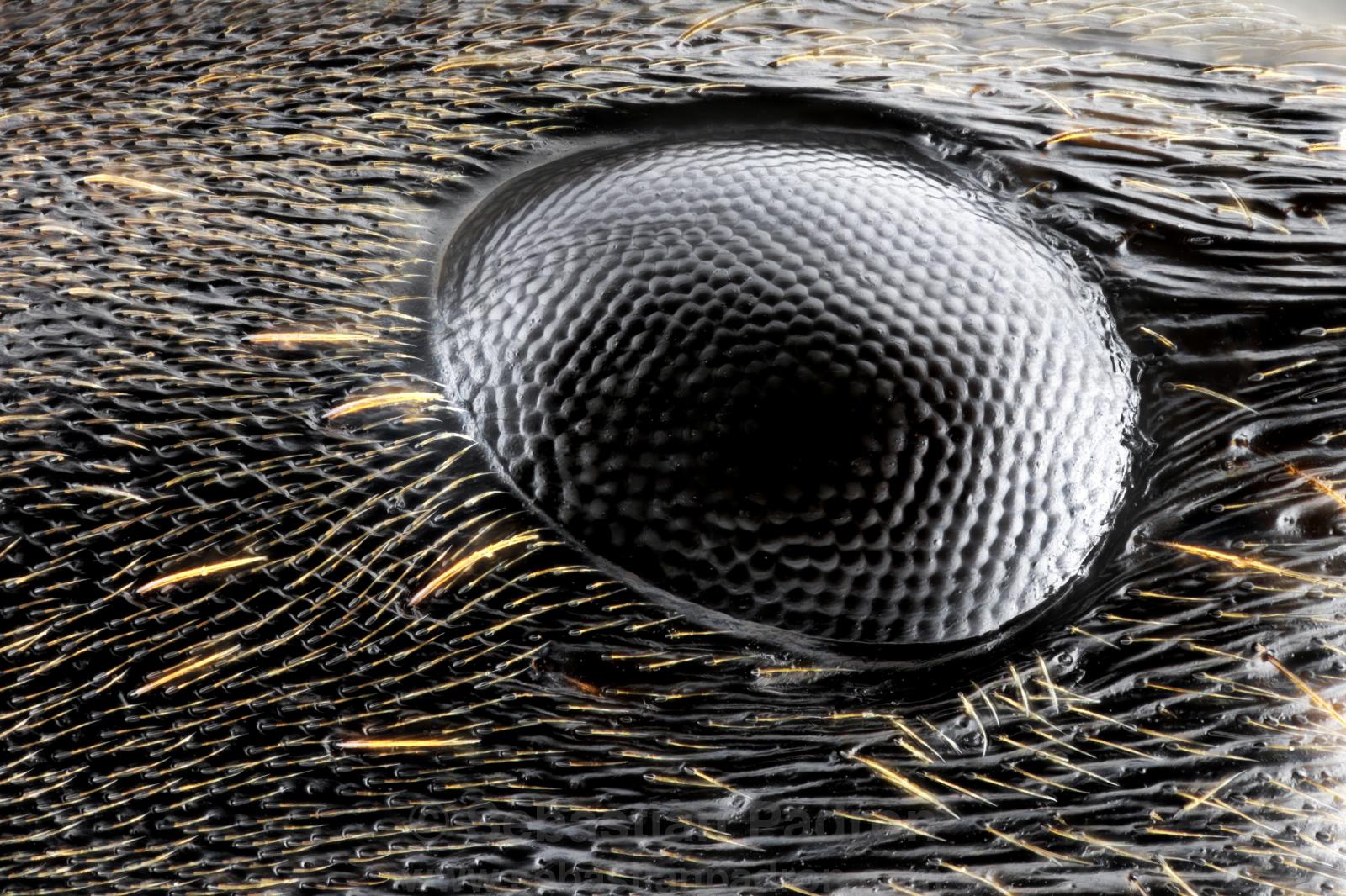 ojo de hormiga