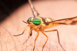 Tabanidae 4 - Ecuador