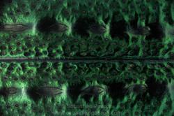 Deltochilum tessellatum 10x