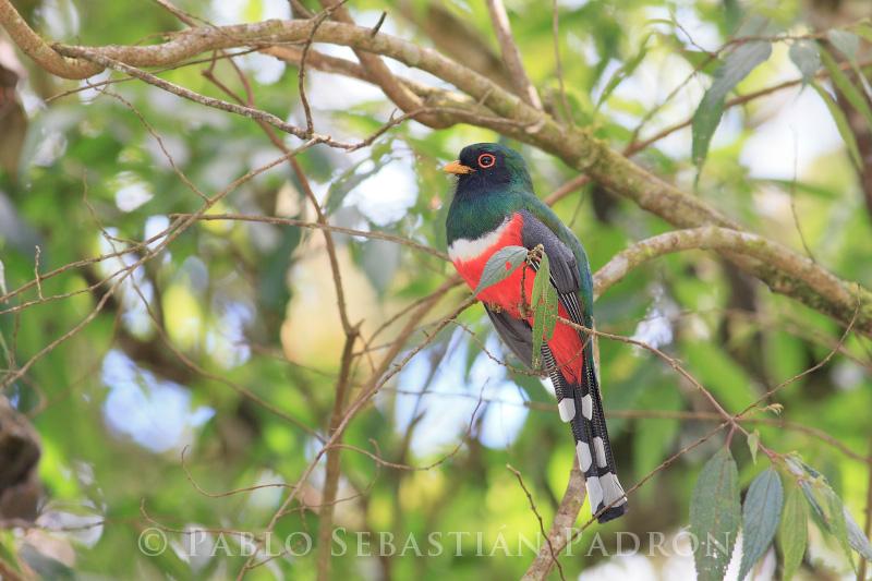 Trogon sp. - Ecuador
