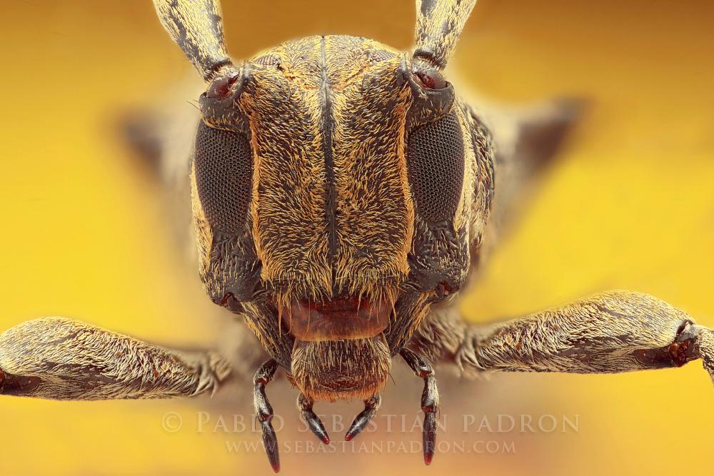 Cerambycidae 2