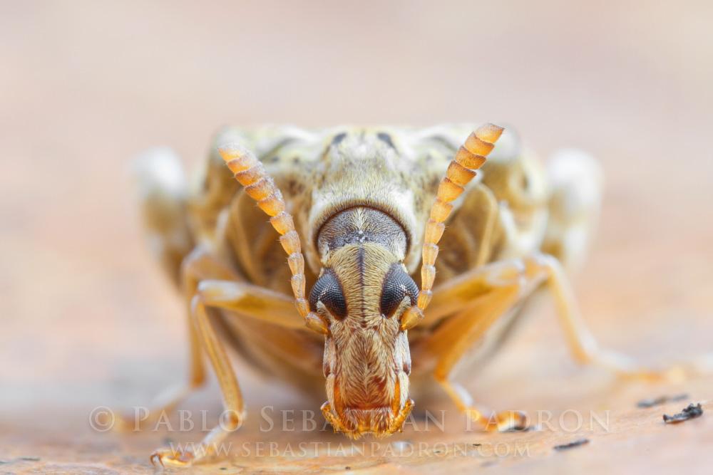 Bruchidae 3- Ecuador