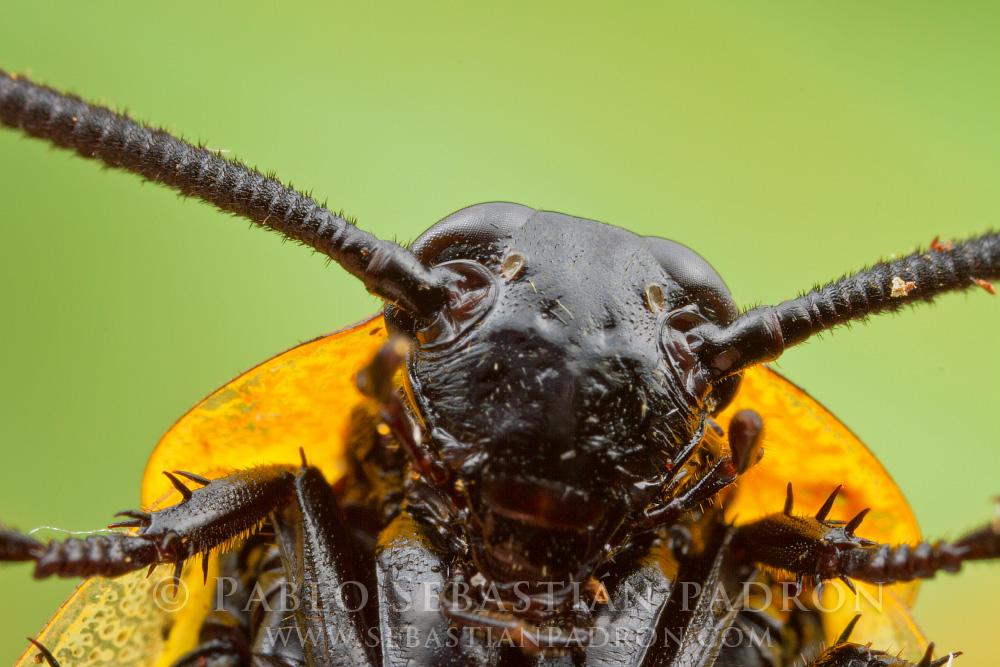 Cucaracha 2 - Ecuador