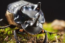 Phanaeus haroldi 2 - Ecuador