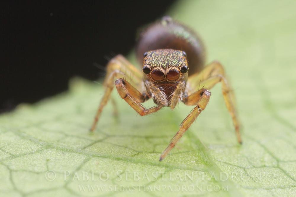 Salticidae 3 - Ecuador