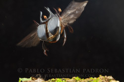 Phanaeus haroldi - Ecuador