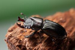 Metadorcinus buckleyi - Ecuador