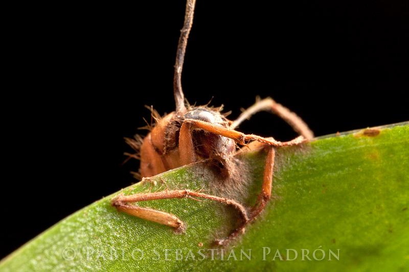 Ophiocordyceps 8- Ecuador