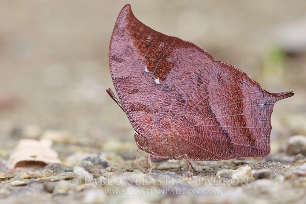 Fountainea centaurus - Ecuador