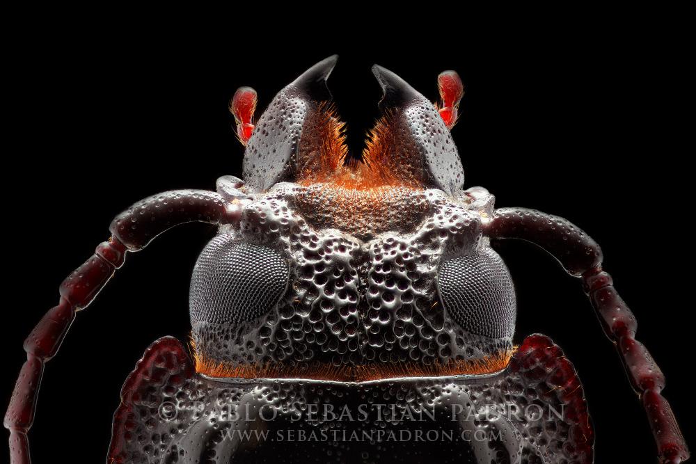 Cerambycidae Ecuador