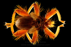 Aspidoptera phyllostomantis