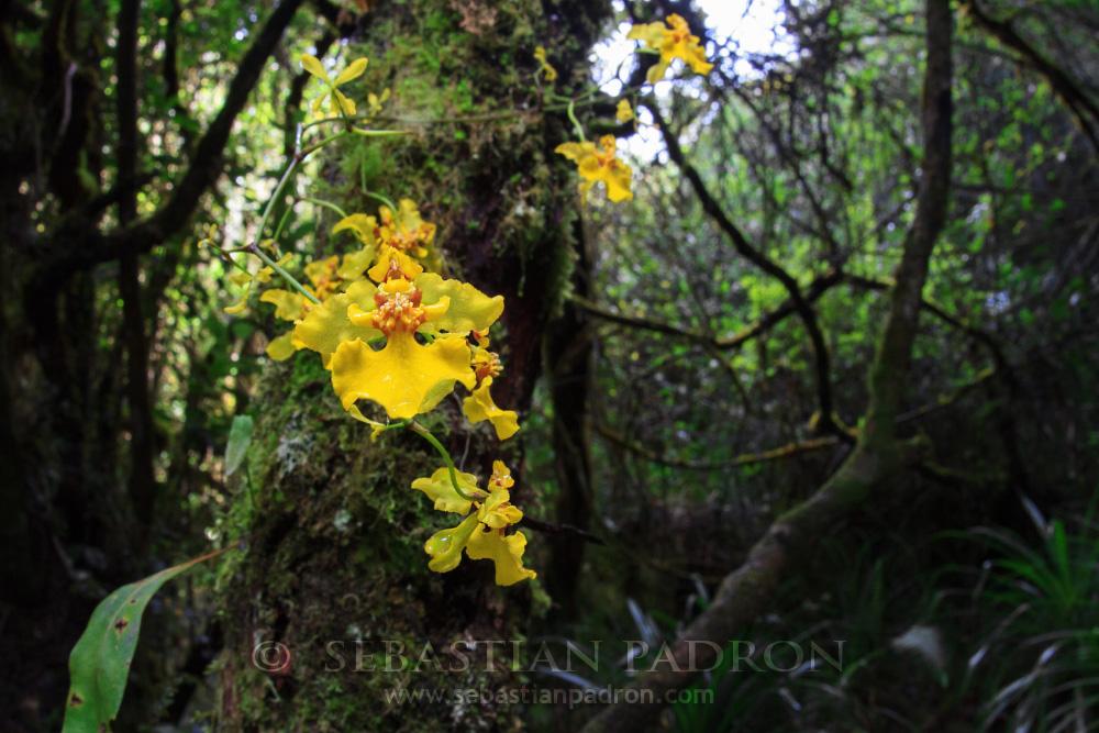Orquidea  - Ecuador